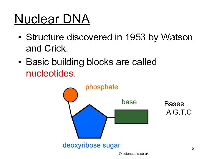 Nuclear DNA • Structure discovered in 1953 by Watson and Crick. • Basic building