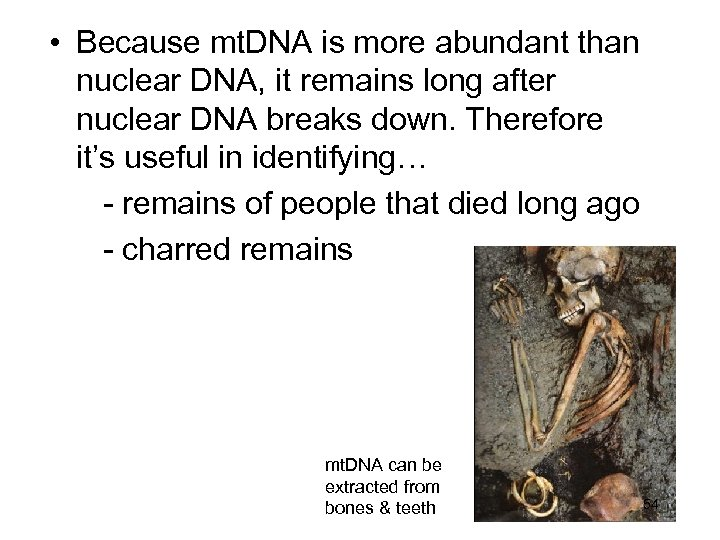 • Because mt. DNA is more abundant than nuclear DNA, it remains long
