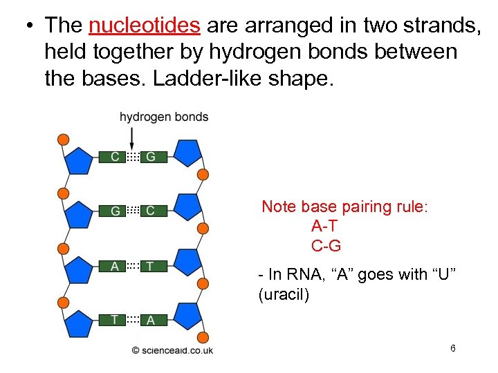 • The nucleotides are arranged in two strands, held together by hydrogen bonds