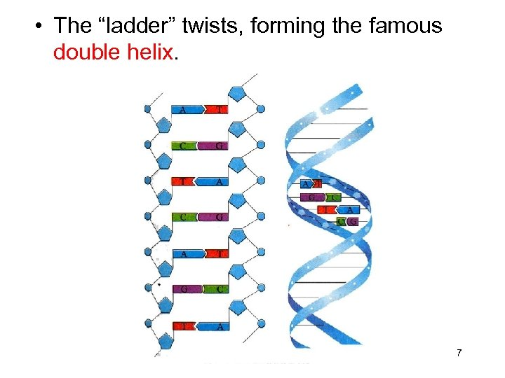 """• The """"ladder"""" twists, forming the famous double helix. 7"""