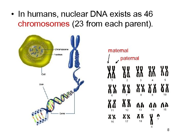 • In humans, nuclear DNA exists as 46 chromosomes (23 from each parent).