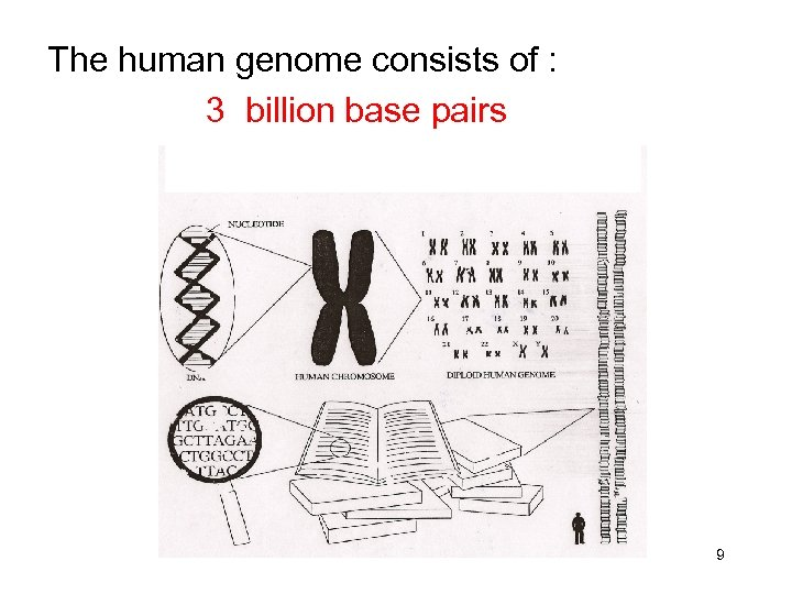 The human genome consists of : 3 billion base pairs 9