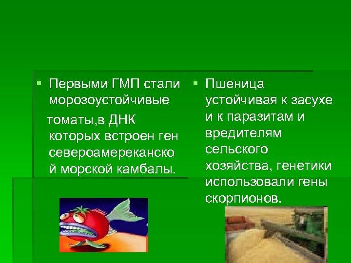 § Первыми ГМП стали § Пшеница морозоустойчивые устойчивая к засухе и к паразитам и