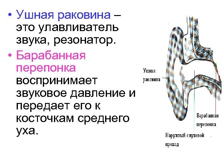 • Ушная раковина – это улавливатель звука, резонатор. • Барабанная перепонка воспринимает звуковое