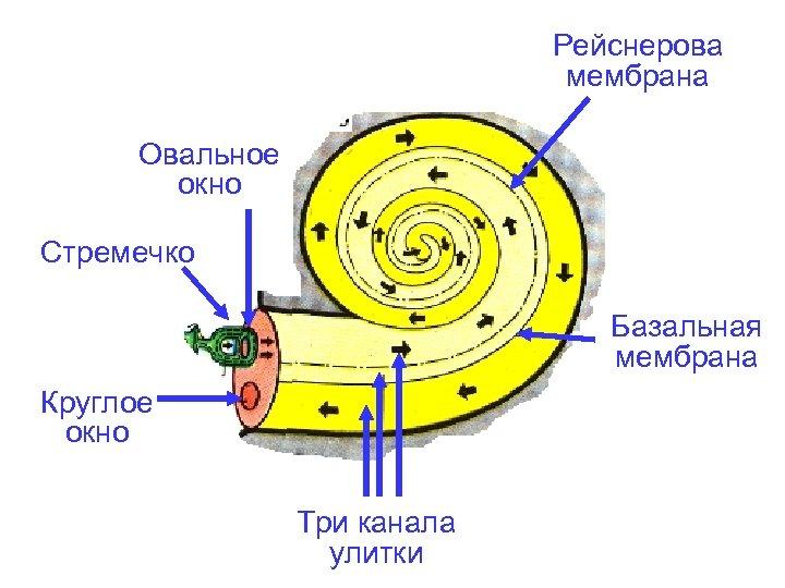 Рейснерова мембрана Овальное окно Стремечко Базальная мембрана Круглое окно Три канала улитки