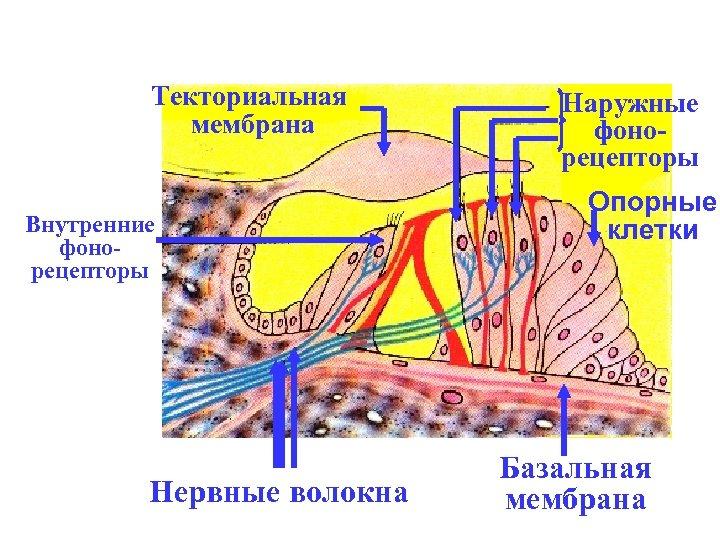 Текториальная мембрана Внутренние фонорецепторы Нервные волокна Наружные фонорецепторы Опорные клетки Базальная мембрана