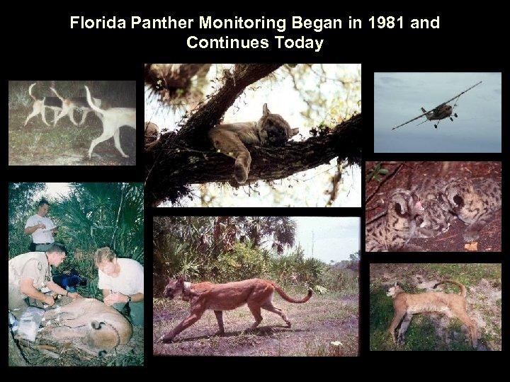 Florida Panther Monitoring Began in 1981 and Continues Today