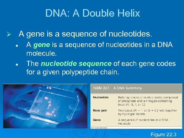 DNA: A Double Helix A gene is a sequence of nucleotides. Ø l l
