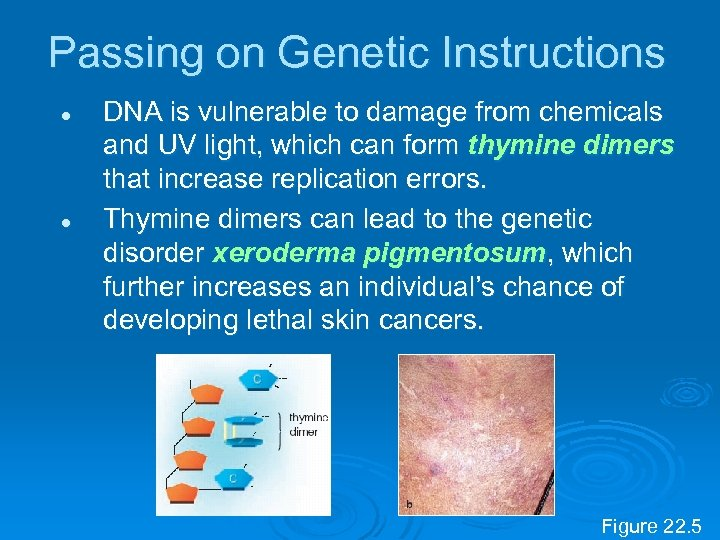 Passing on Genetic Instructions l l DNA is vulnerable to damage from chemicals and