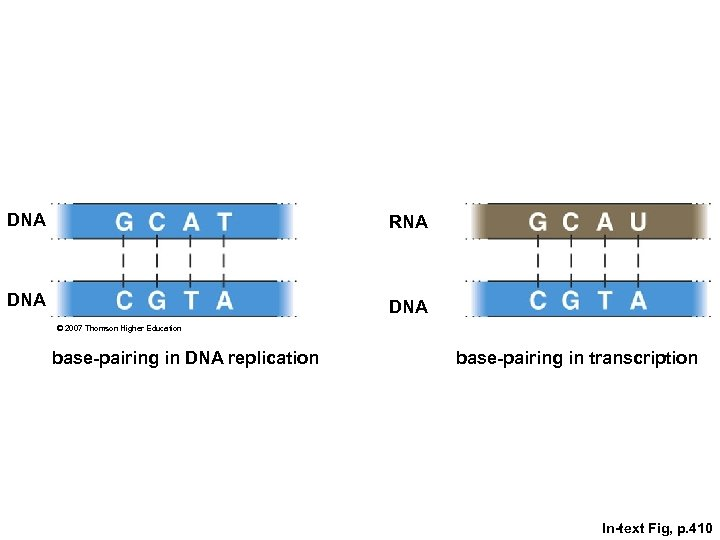 DNA RNA DNA © 2007 Thomson Higher Education base-pairing in DNA replication base-pairing in