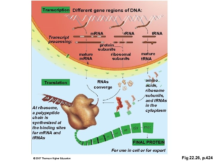 Transcription Different gene regions of DNA: Transcript processing: m. RNA mature m. RNA Translation