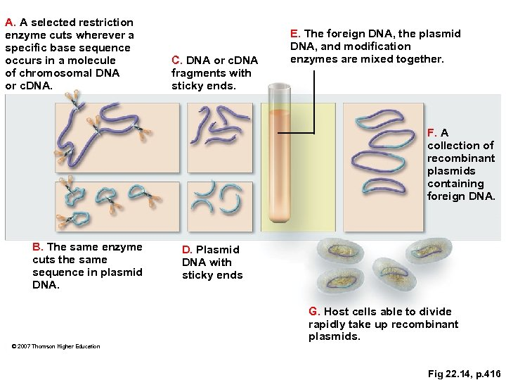 A. A selected restriction enzyme cuts wherever a specific base sequence occurs in a