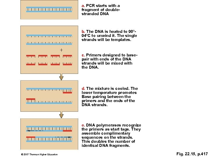 a. PCR starts with a fragment of doublestranded DNA b. The DNA is heated