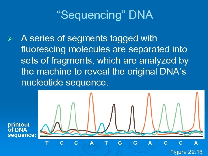 """Sequencing"" DNA Ø A series of segments tagged with fluorescing molecules are separated into"