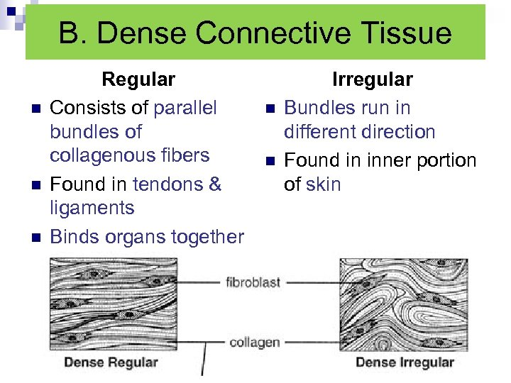 B. Dense Connective Tissue n n n Regular Consists of parallel bundles of collagenous