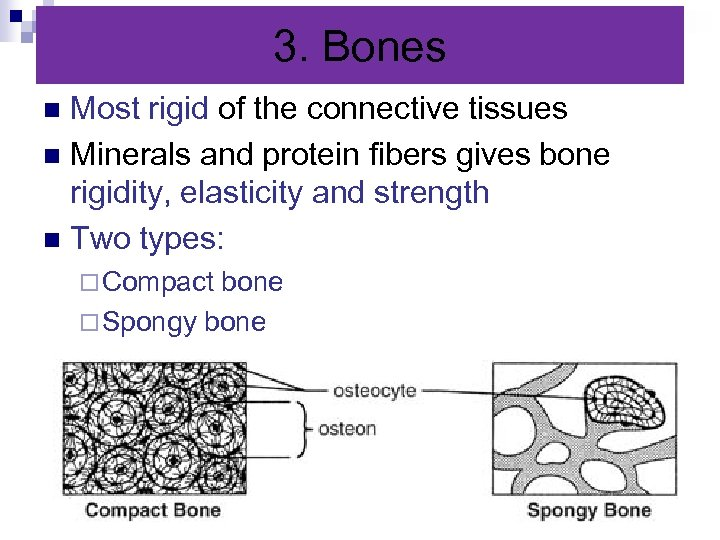 3. Bones Most rigid of the connective tissues n Minerals and protein fibers gives