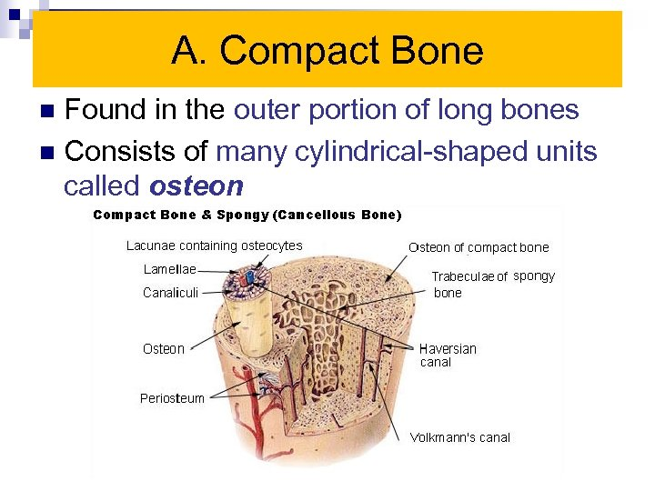 A. Compact Bone Found in the outer portion of long bones n Consists of