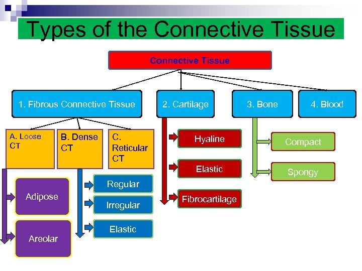 Types of the Connective Tissue 1. Fibrous Connective Tissue A. Loose CT B. Dense