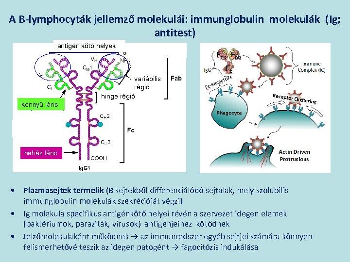 A B-lymphocyták jellemző molekulái: immunglobulin molekulák (Ig; antitest) antigén kötő helyek variábilis régió hinge