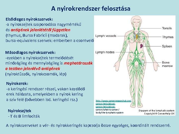 A nyirokrendszer felosztása Elsődleges nyirokszervek: -a nyiroksejtek szaporodása nagymértékű és antigének jelenlététől független (thymus,