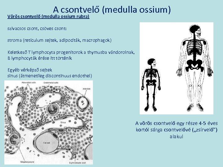A csontvelő (medulla ossium) Vörös csontvelő (medulla ossium rubra) szivacsos csont, csöves csont: stroma