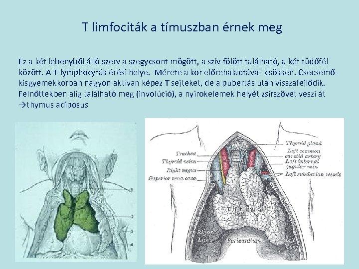 T limfociták a tímuszban érnek meg Ez a két lebenyből álló szerv a szegycsont