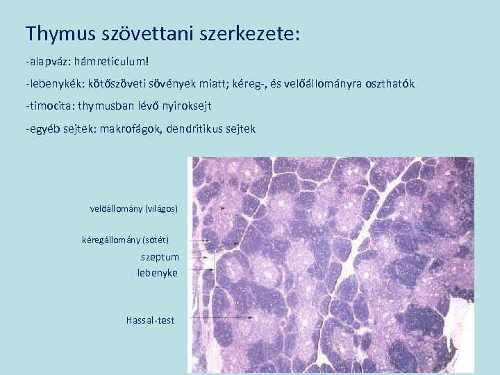 Thymus szövettani szerkezete: -alapváz: hámreticulum! -lebenykék: kötőszöveti sövények miatt; kéreg-, és velőállományra oszthatók -timocita: