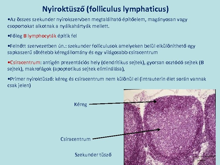 Nyiroktüsző (folliculus lymphaticus) • Az összes szekunder nyirokszervben megtalálható építőelem, magányosan vagy csoportokat alkotnak