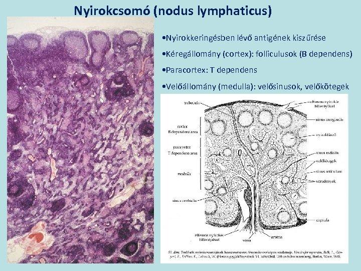 Nyirokcsomó (nodus lymphaticus) • Nyirokkeringésben lévő antigének kiszűrése • Kéregállomány (cortex): folliculusok (B dependens)