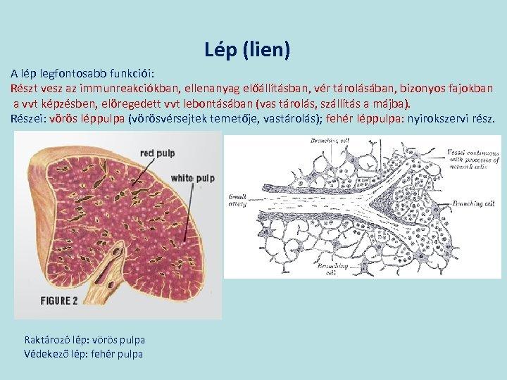 Lép (lien) A lép legfontosabb funkciói: Részt vesz az immunreakciókban, ellenanyag előállításban, vér tárolásában,