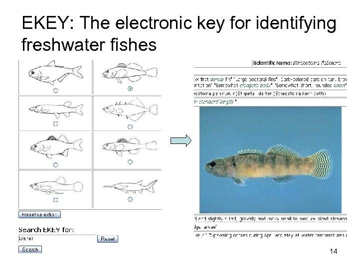 EKEY: The electronic key for identifying freshwater fishes 14