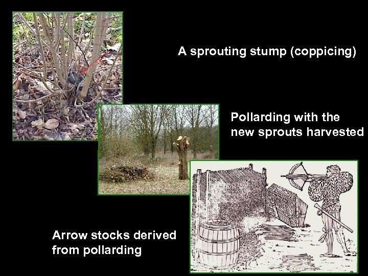 A sprouting stump (coppicing) Pollarding with the new sprouts harvested Arrow stocks derived from