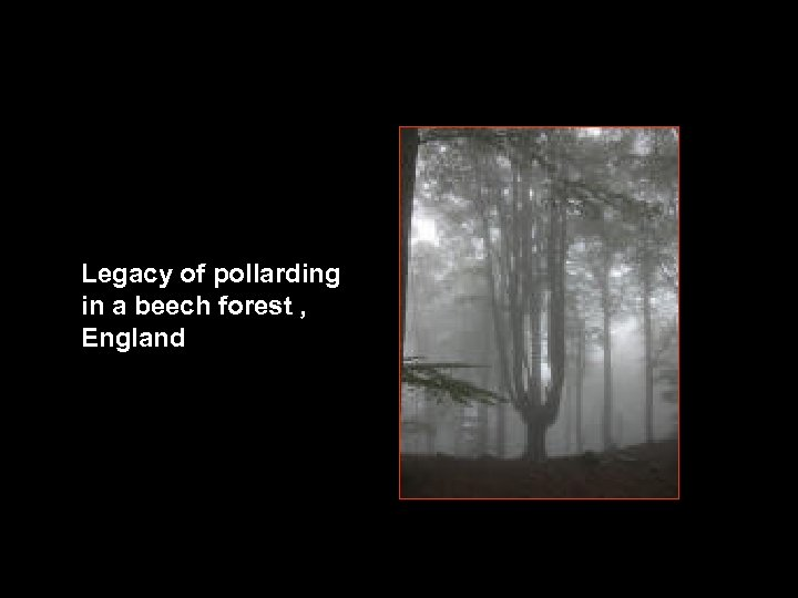 Legacy of pollarding in a beech forest , England