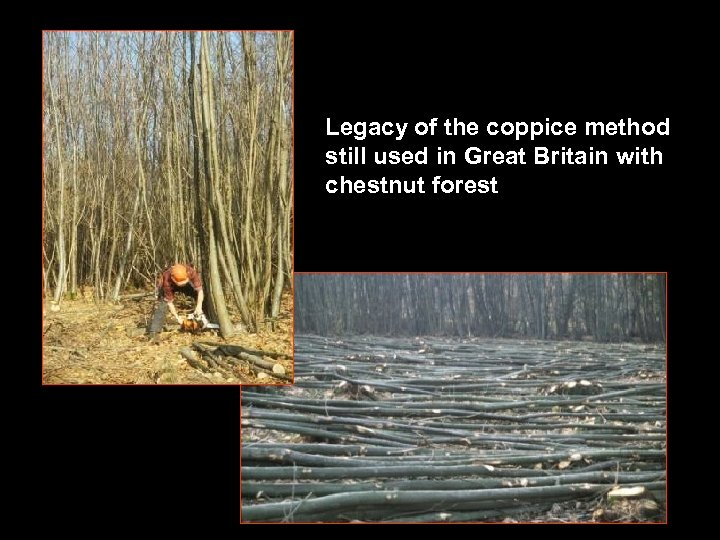 Legacy of the coppice method still used in Great Britain with chestnut forest