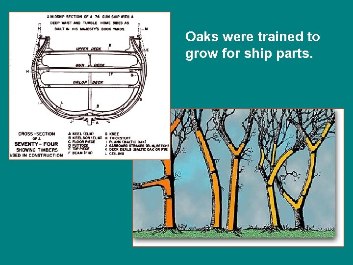 Oaks were trained to grow for ship parts.
