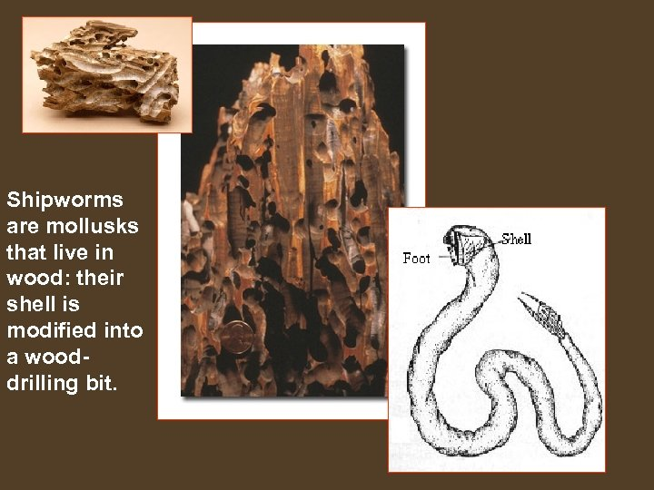Shipworms are mollusks that live in wood: their shell is modified into a wooddrilling