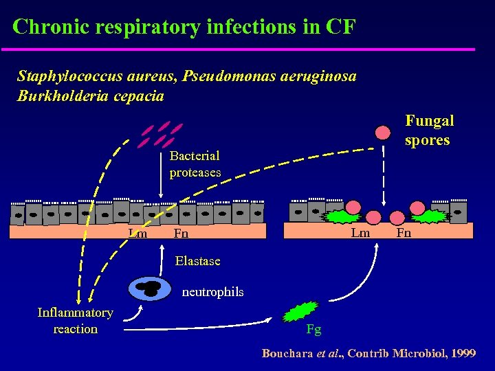 Chronic respiratory infections in CF Staphylococcus aureus, Pseudomonas aeruginosa Burkholderia cepacia Fungal spores Bacterial