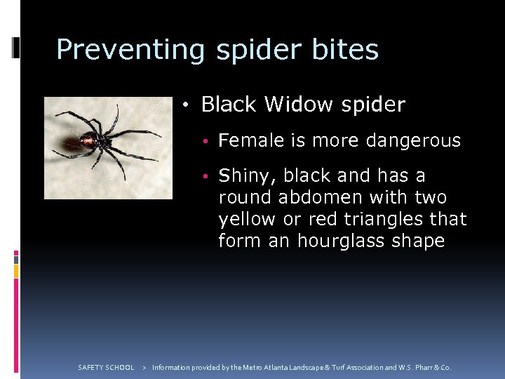 Preventing spider bites • Black Widow spider • Female is more dangerous • Shiny,