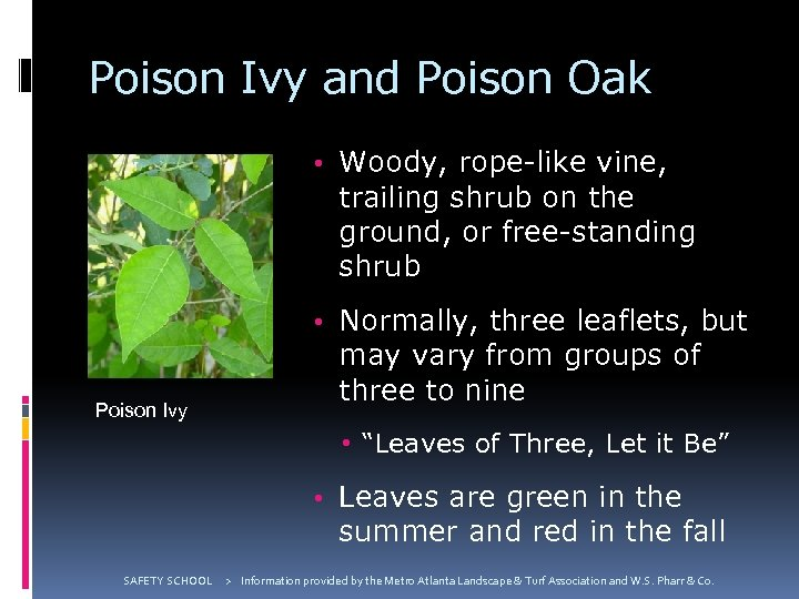 Poison Ivy and Poison Oak • Woody, rope-like vine, trailing shrub on the ground,