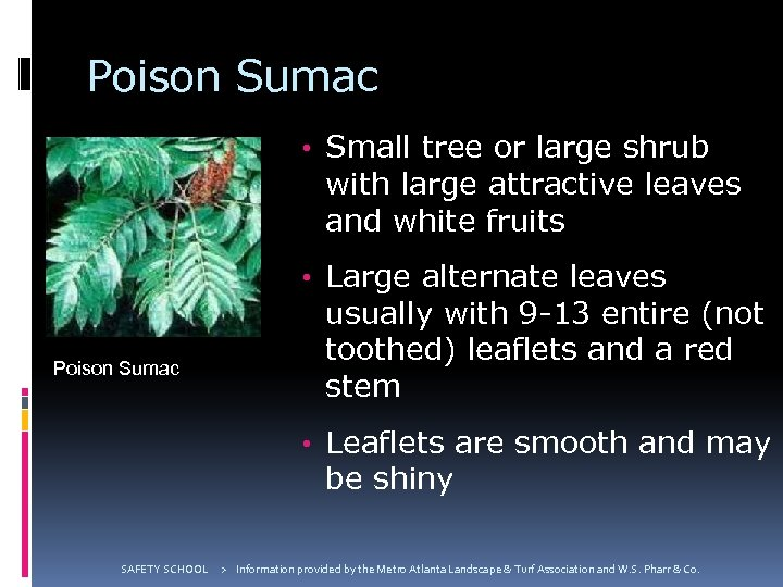 Poison Sumac • Small tree or large shrub with large attractive leaves and white