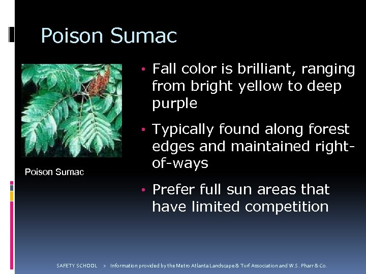 Poison Sumac • Fall color is brilliant, ranging from bright yellow to deep purple