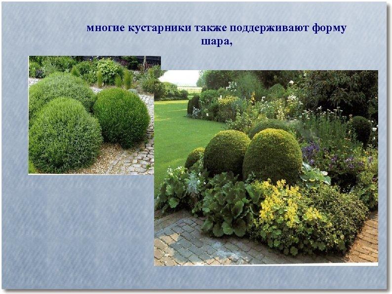 многие кустарники также поддерживают форму шара,