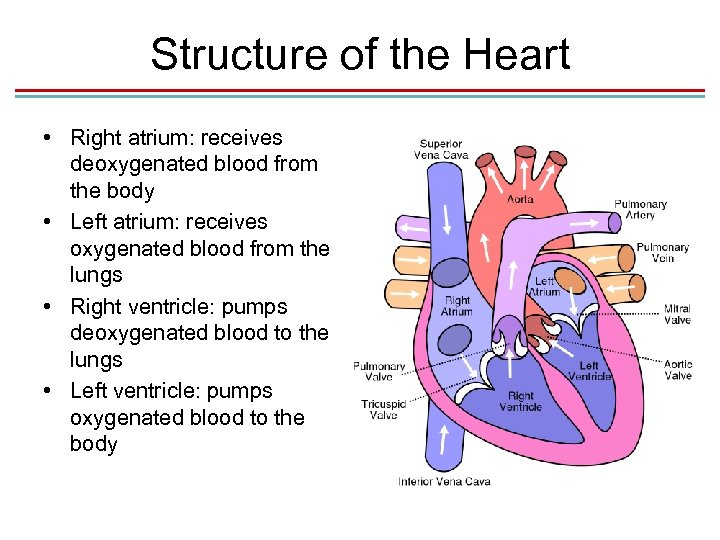 chapter 13 blood system 1 s chapter 13 the blood s i functions of the blood circulating blood serves body in three ways • transportation • regulation • protection.