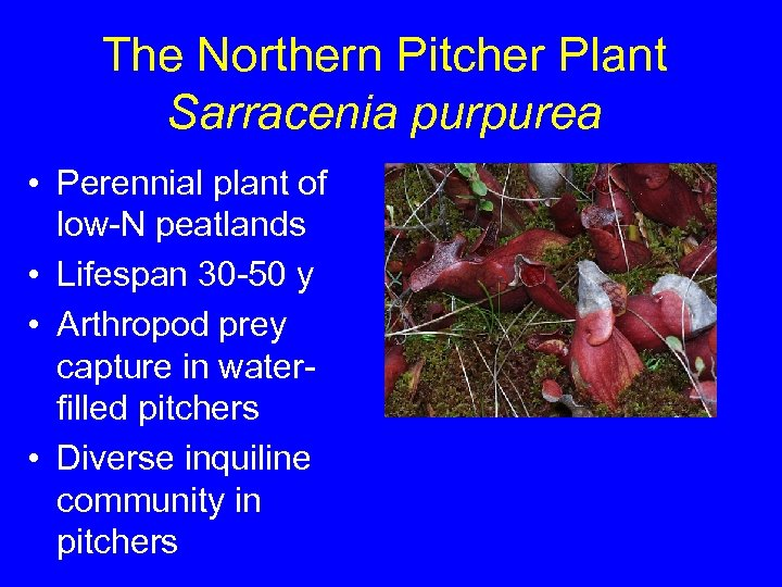 The Northern Pitcher Plant Sarracenia purpurea • Perennial plant of low-N peatlands • Lifespan
