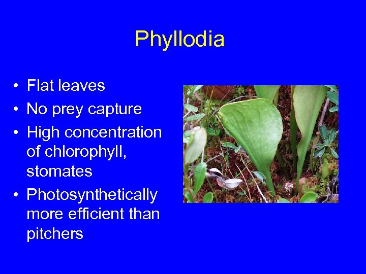 Phyllodia • Flat leaves • No prey capture • High concentration of chlorophyll, stomates