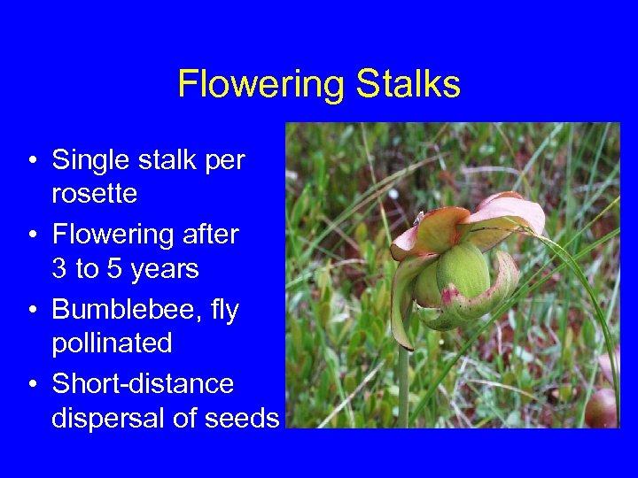 Flowering Stalks • Single stalk per rosette • Flowering after 3 to 5 years