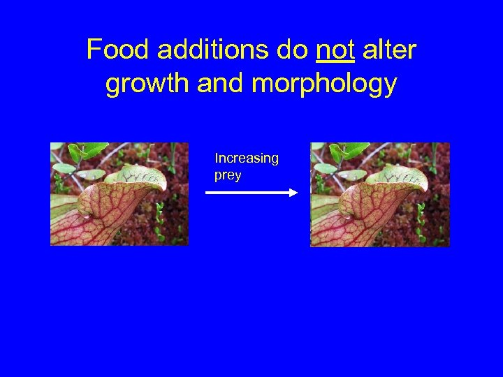 Food additions do not alter growth and morphology Increasing prey