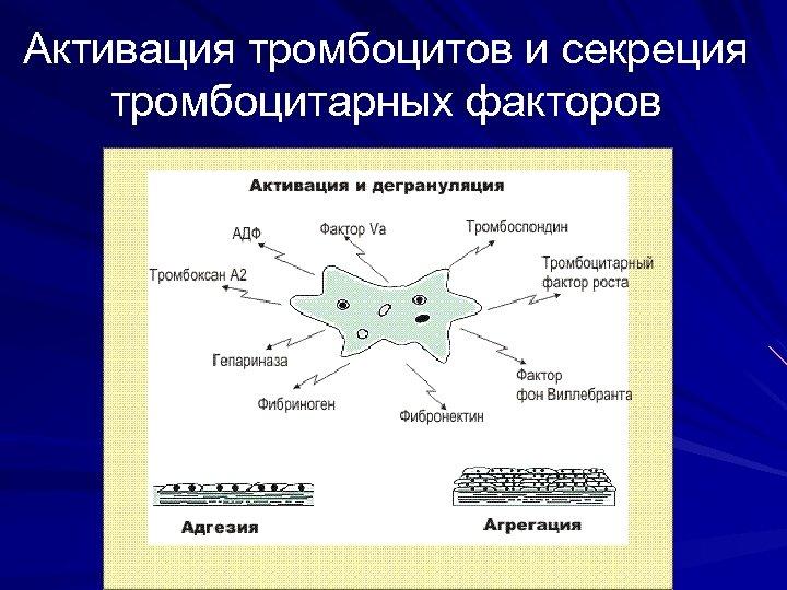 Активация тромбоцитов и секреция тромбоцитарных факторов