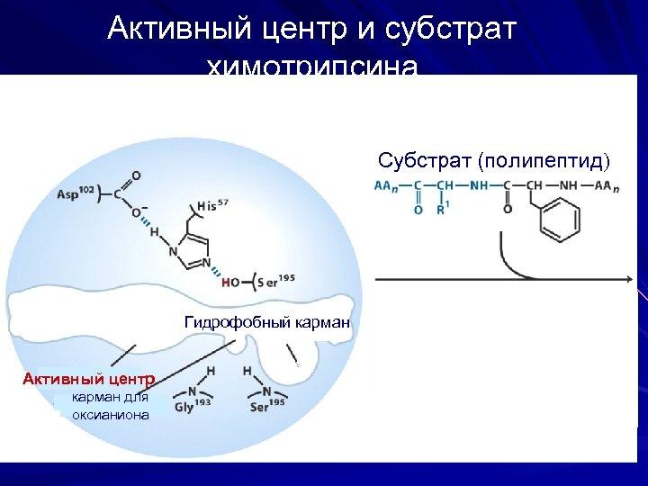Активный центр и субстрат химотрипсина Субстрат (полипептид) Гидрофобный карман Активный центр карман для оксианиона