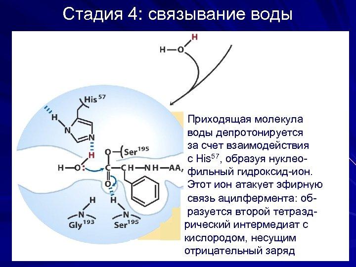 Стадия 4: связывание воды Приходящая молекула воды депротонируется за счет взаимодействия с His 57,